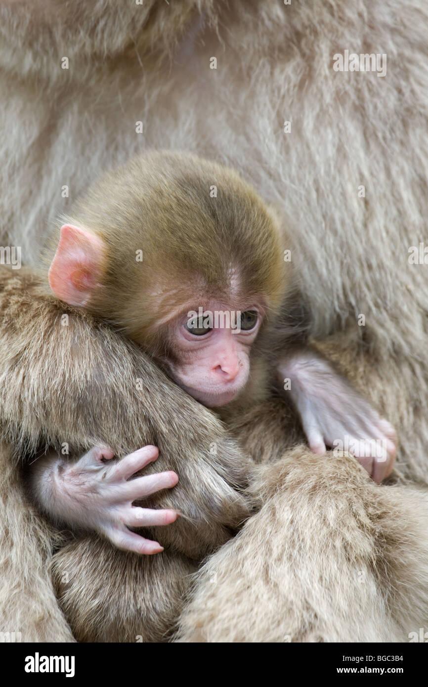 Macaque japonais (Macaca fuscata) bébé accroché à la main de mère Photo Stock