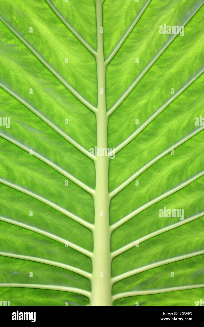 'Green Leaf' veines couleur vert vif feuillage tropical jungle, taro géant Photo Stock