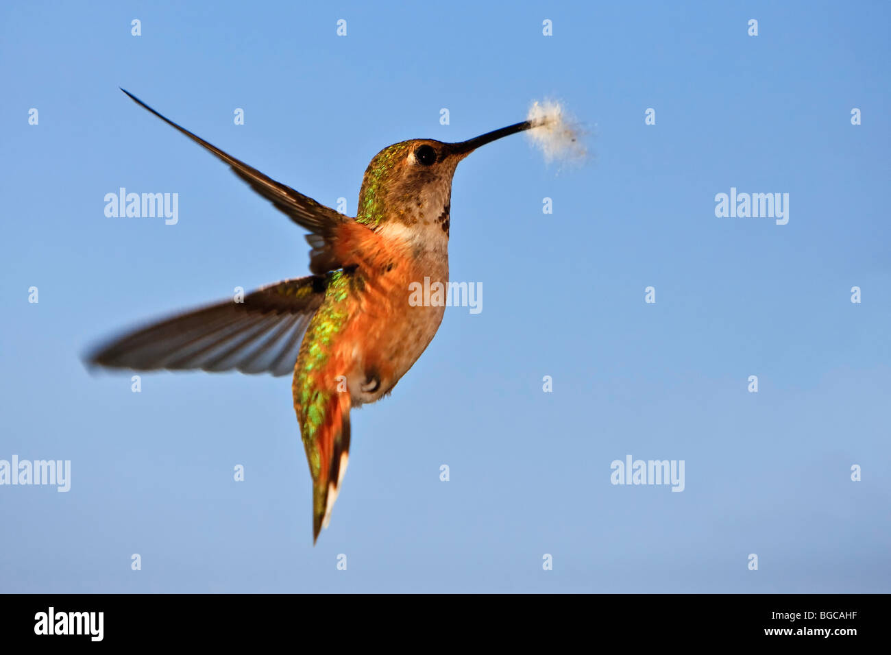 Colibri, colibri roux, Selasphorous rufus Photo Stock