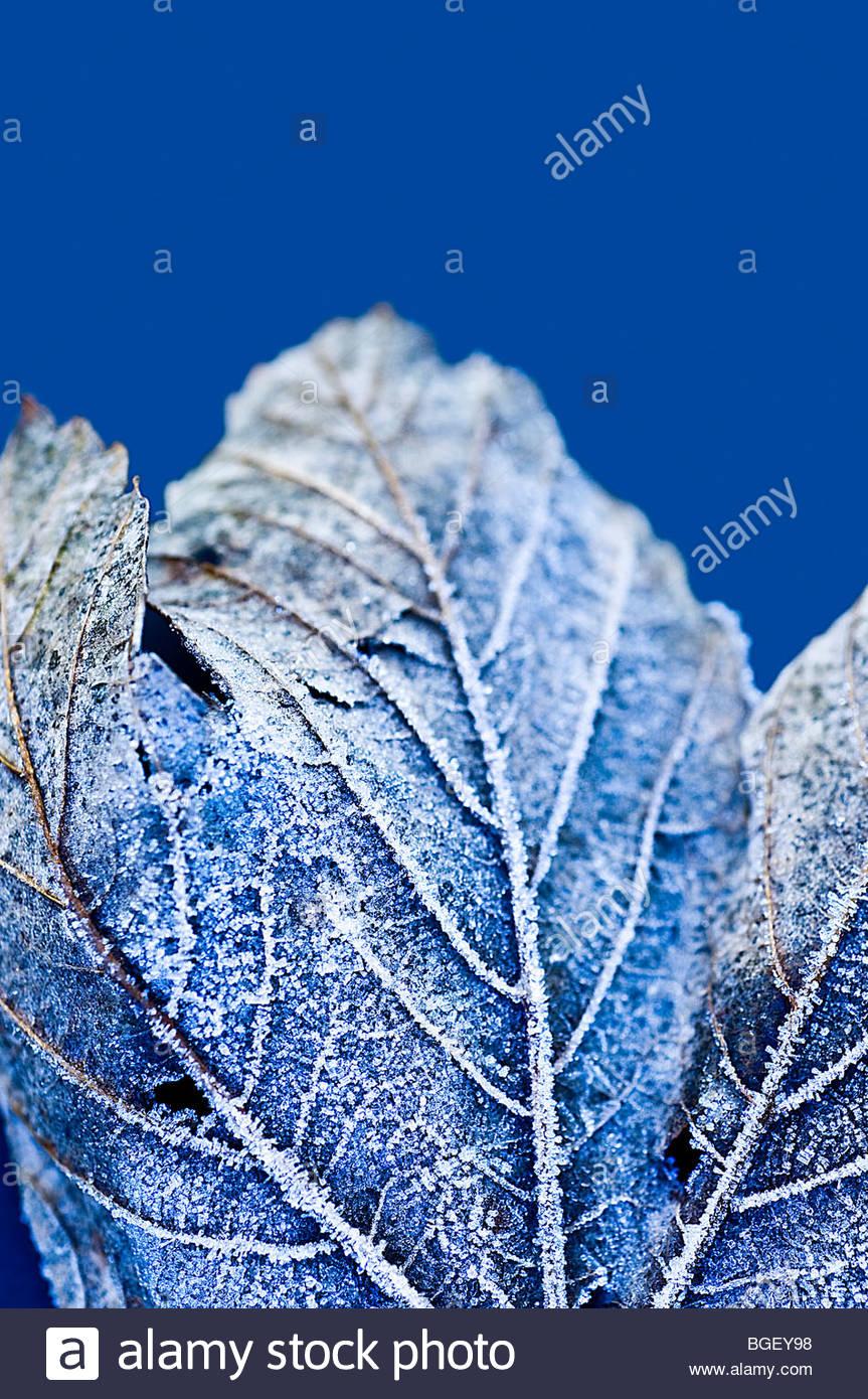 Givre sur feuille de gelée Photo Stock