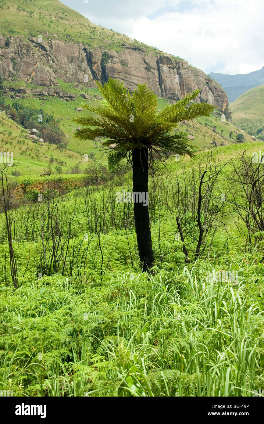 Tapis arbre dans le Drakensberg Mountains Photo Stock
