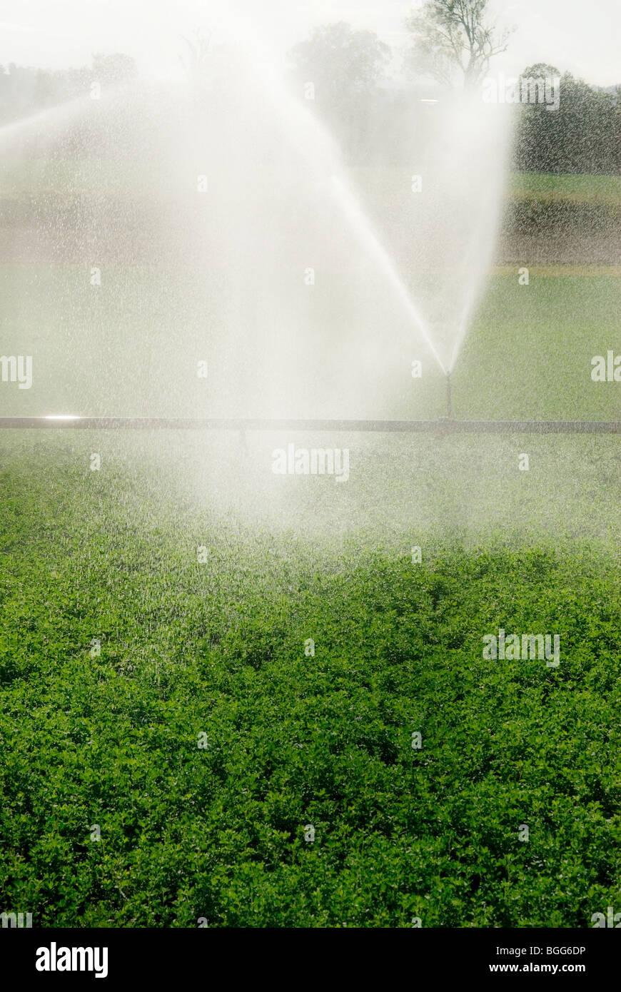 Lucerne récolte étant irriguées dans le Queensland en Australie Photo Stock