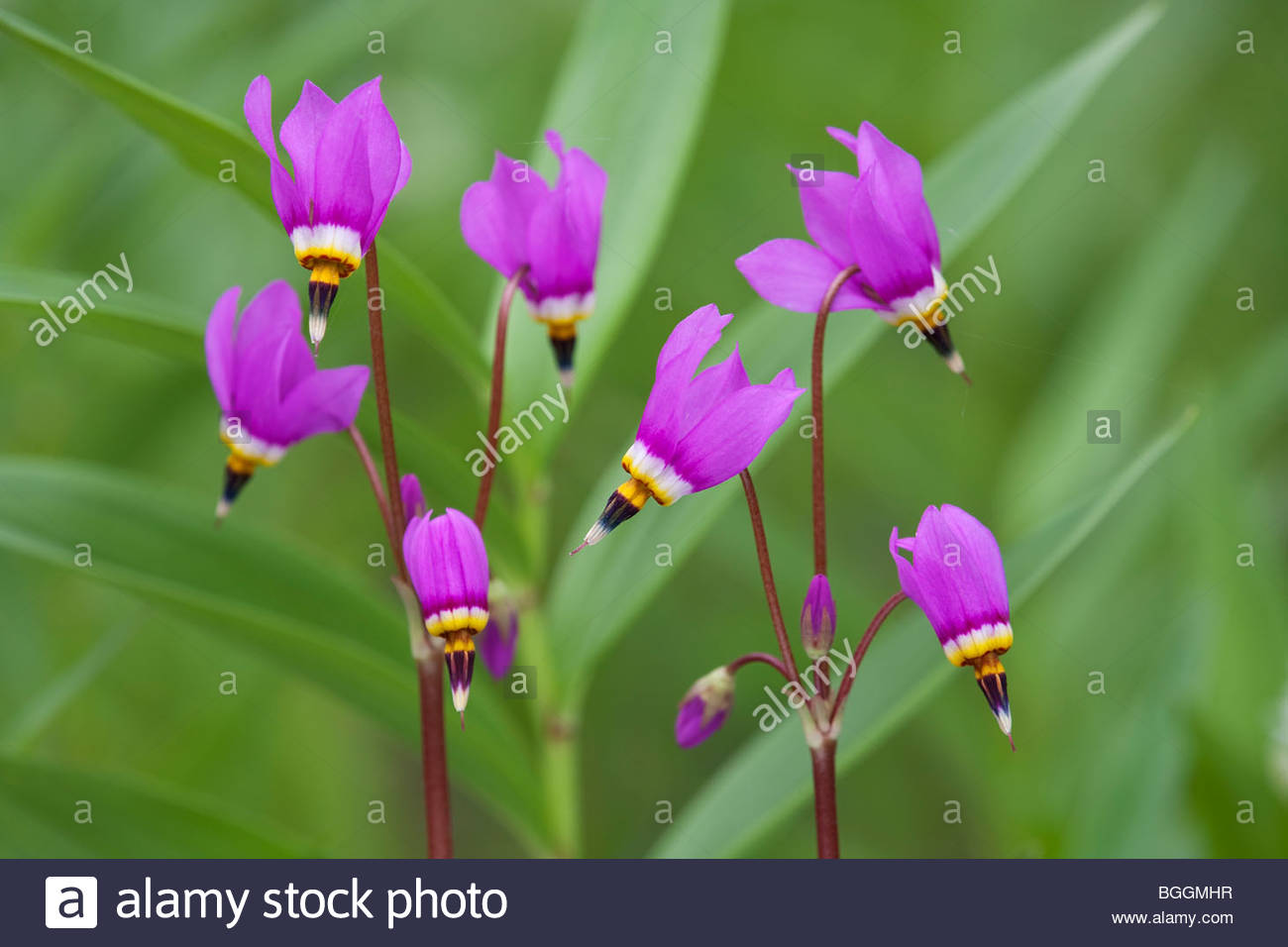 Eklutna, Alaska Appartements Shooting Star (Dodecatheon pulchellum) Photo Stock