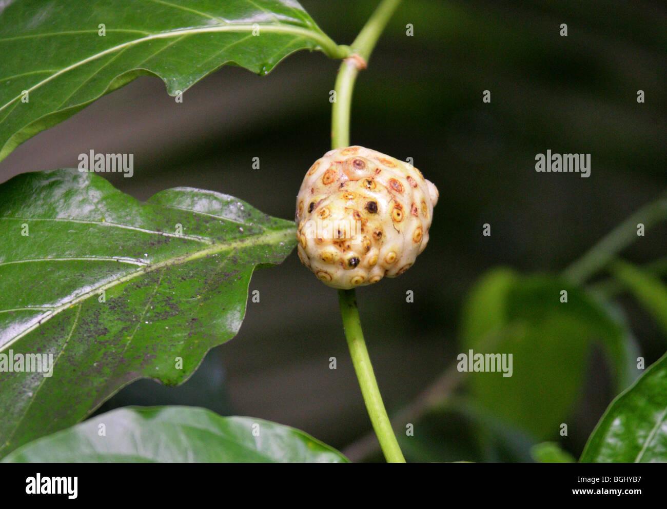 Tahitian Noni ou Indian Mulberry, Morinda citrifolia, Rubiaceae, Malesian du Nord et des Caraïbes, de l'Australie. Banque D'Images