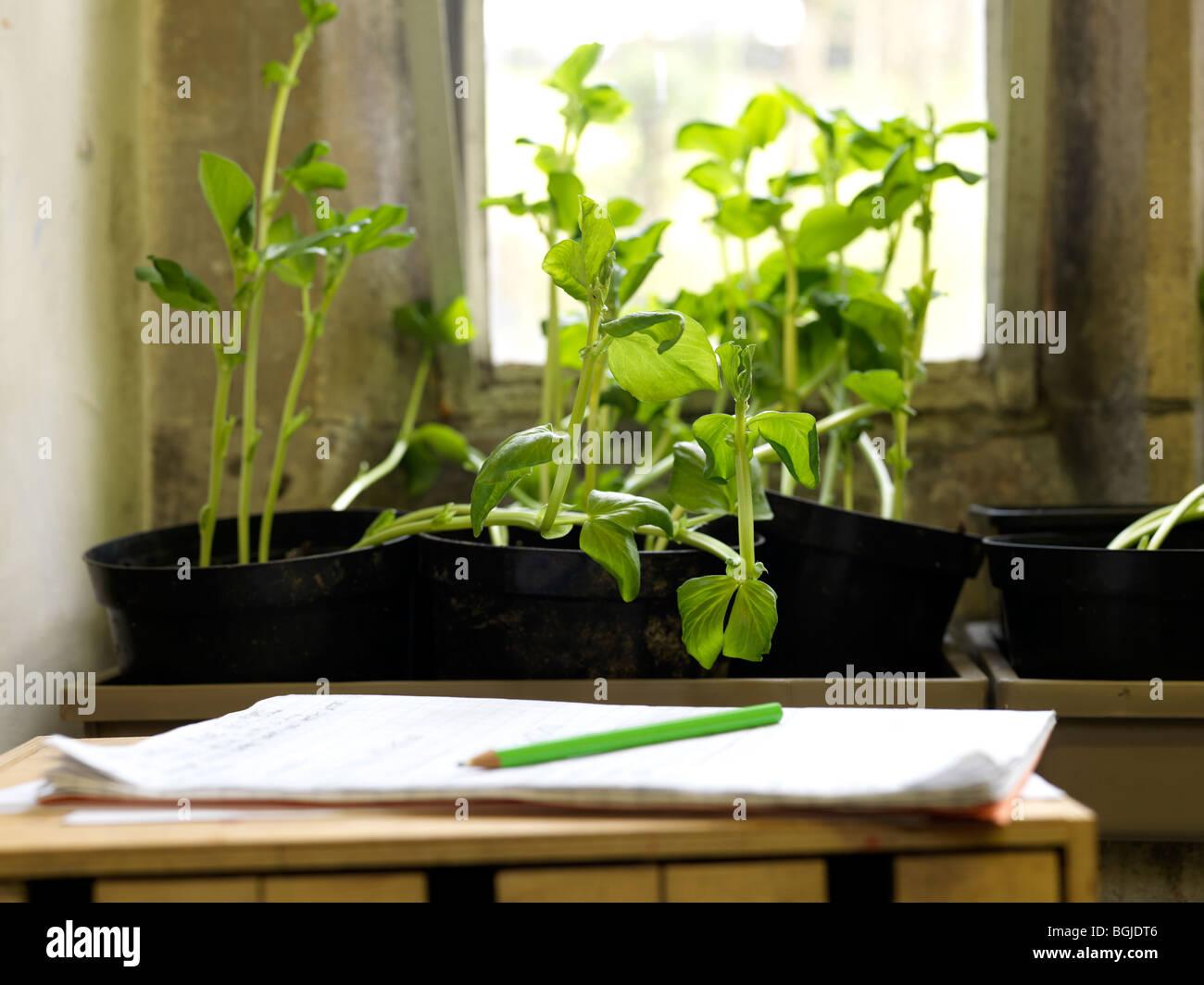 Les plantes croissant dans la fenêtre de classe Photo Stock