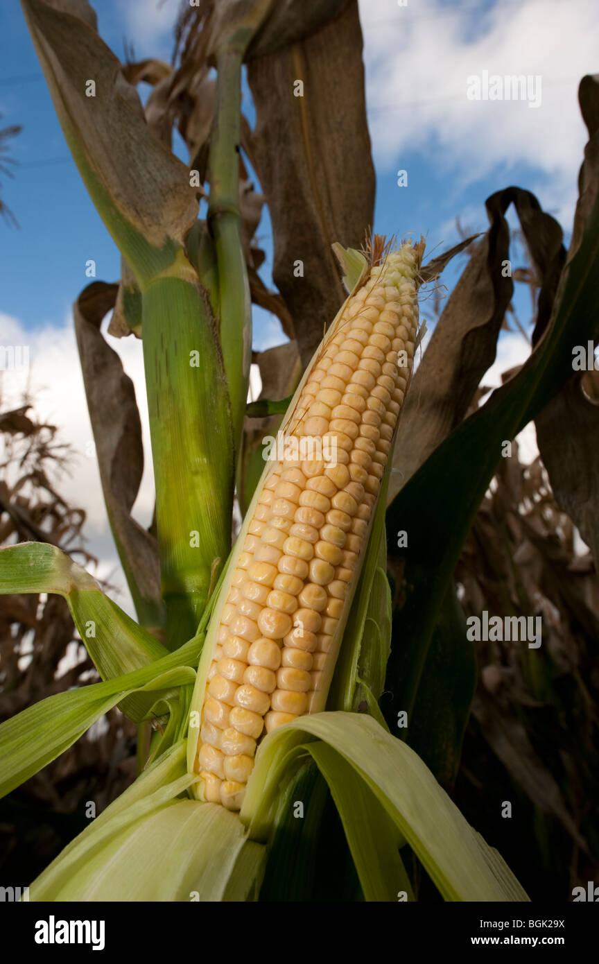Tête de maïs mûr. Photo Stock