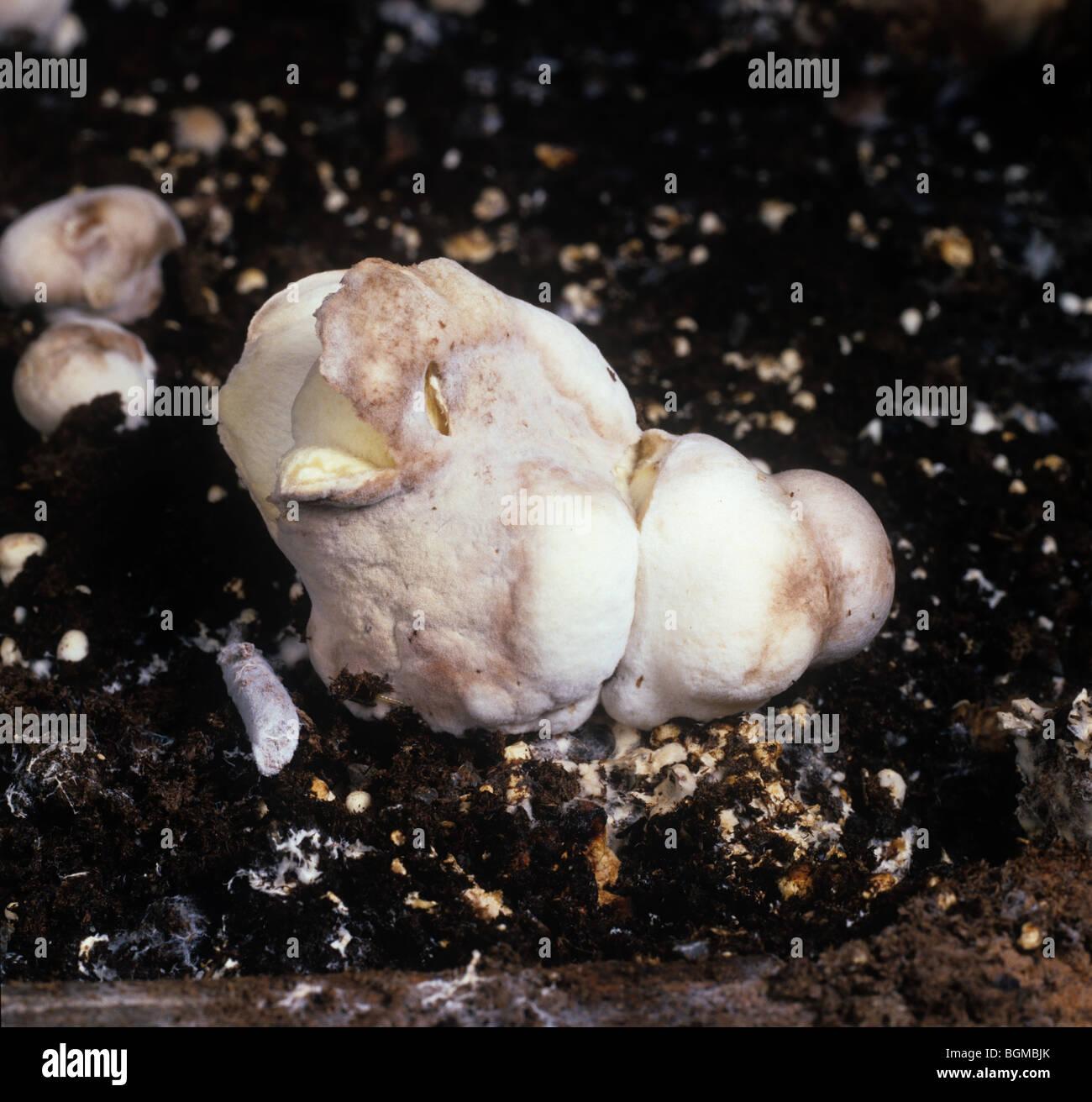 Symptôme de maladie de la bulle à sec (Verticillium fungicola) sur les champignons cultivés commercialement Photo Stock