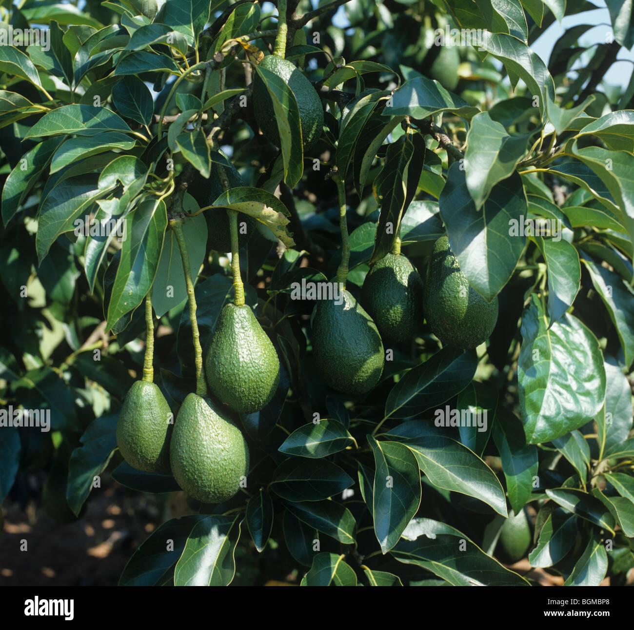 l'avocat de poire mûre presque sur un arbre d'afrique du sud banque