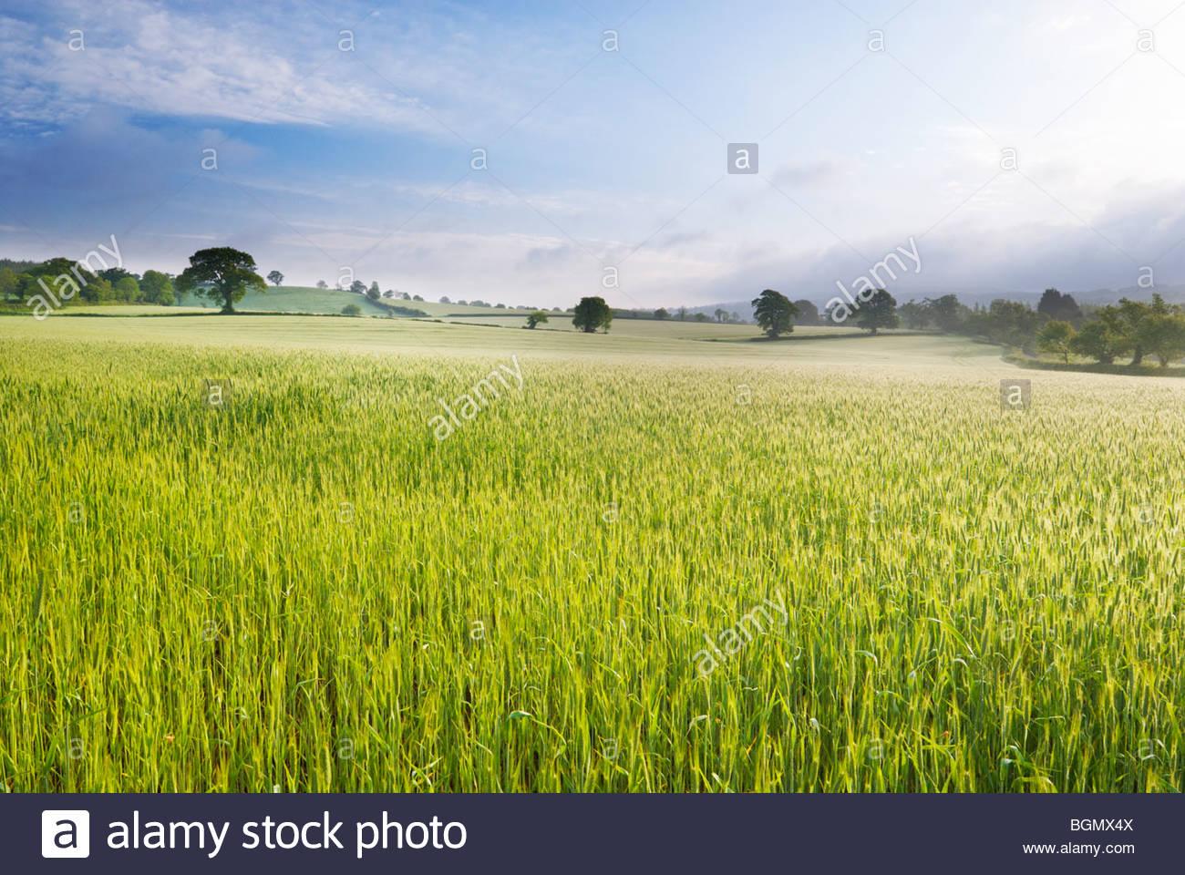 Champ de blé, près de East Budleigh Salterton, Devon, Angleterre. Photo Stock
