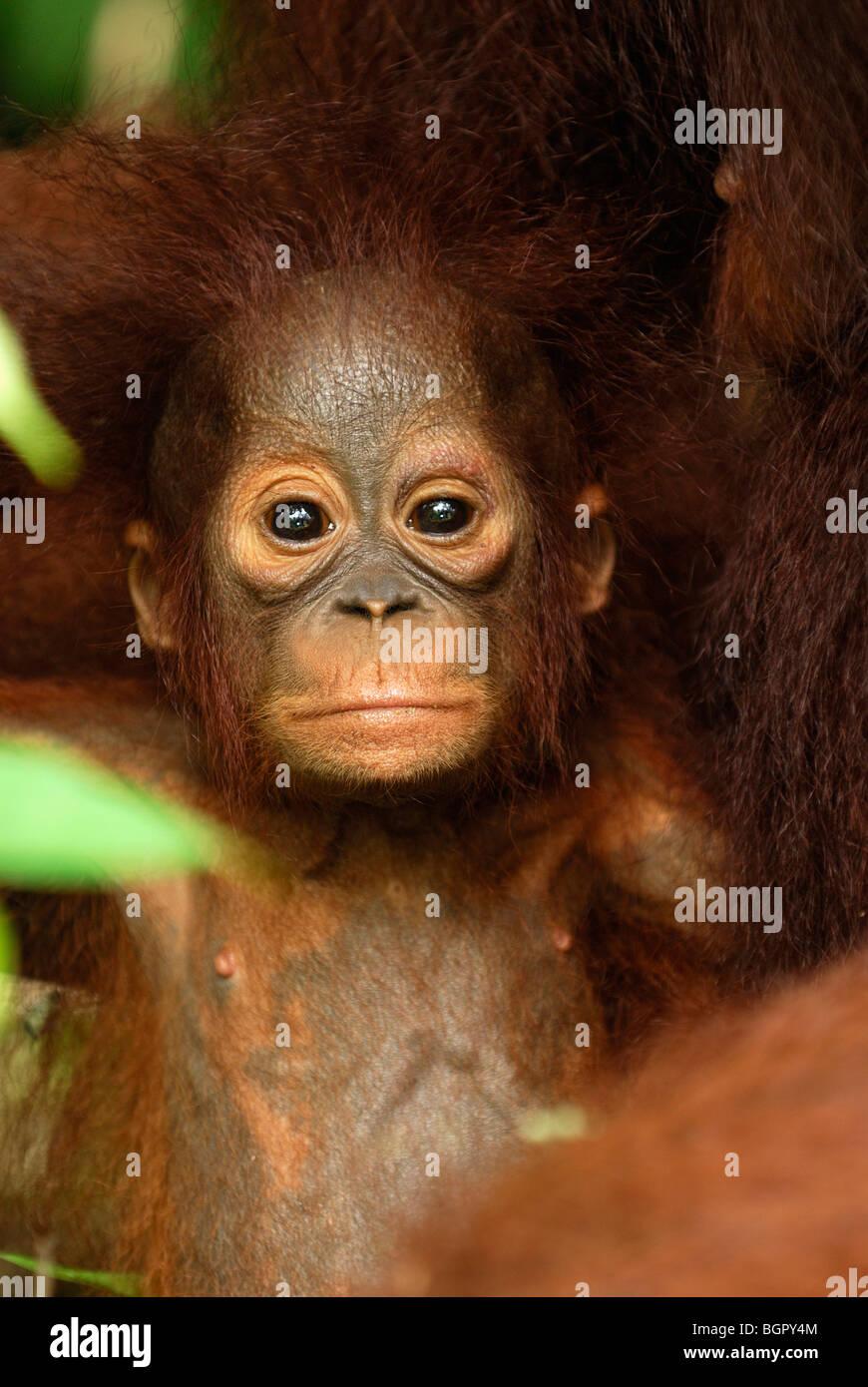 Bébé orang-outan de Bornéo (Pongo pygmaeus), les jeunes, qui fuient le camp, parc national de Tanjung Photo Stock