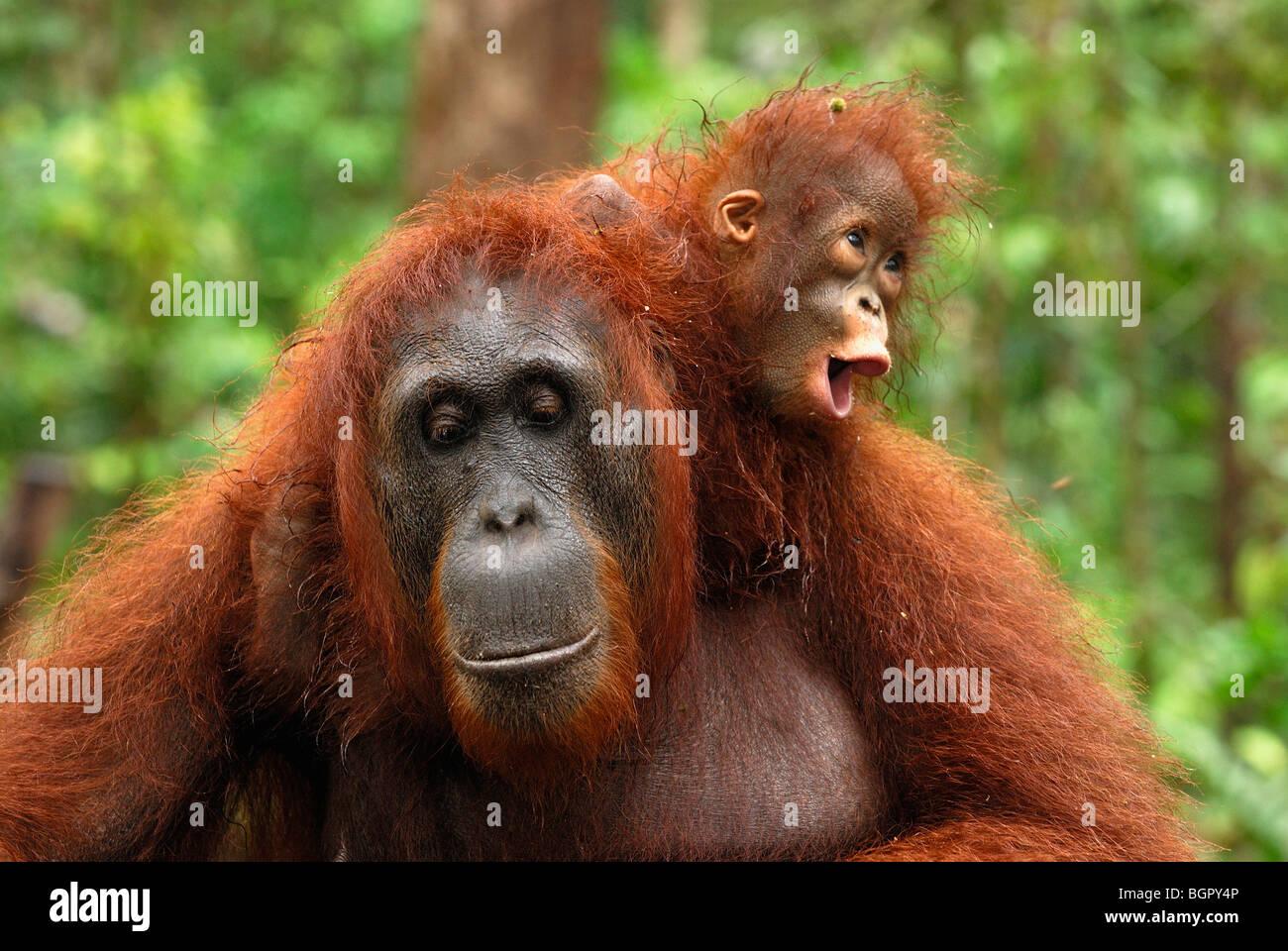 L'orang-outan de Bornéo (Pongo pygmaeus), femme avec son bébé à cheval sur son dos, Kalimantan, Photo Stock