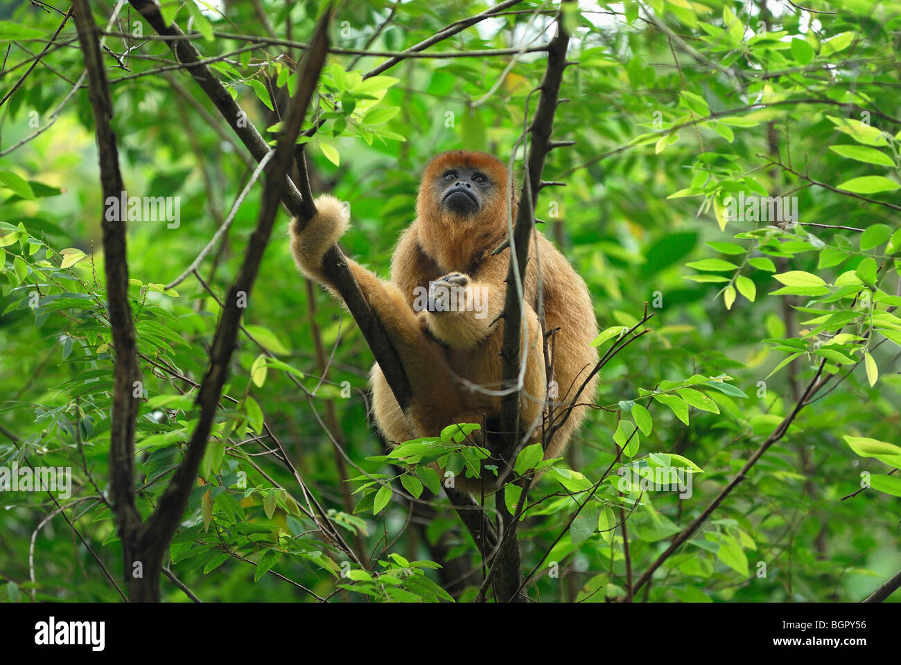 Le noir et or singe hurleur (Alouatta caraya), adulte, Brésil Photo Stock