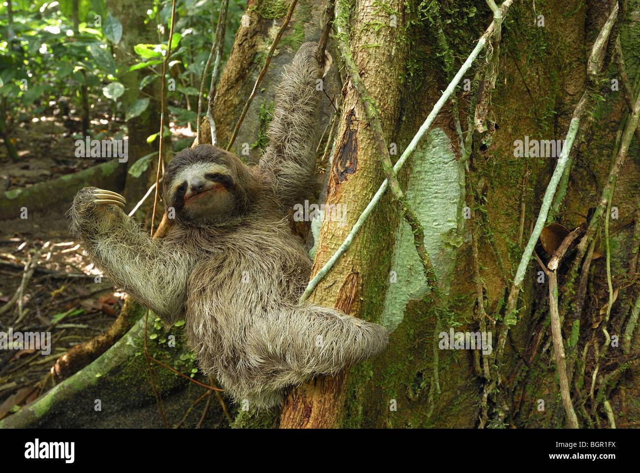 Brown-throated trois-toed Sloth (Bradypus variegatus), adulte, parc national de Cahuita, Costa Rica Banque D'Images