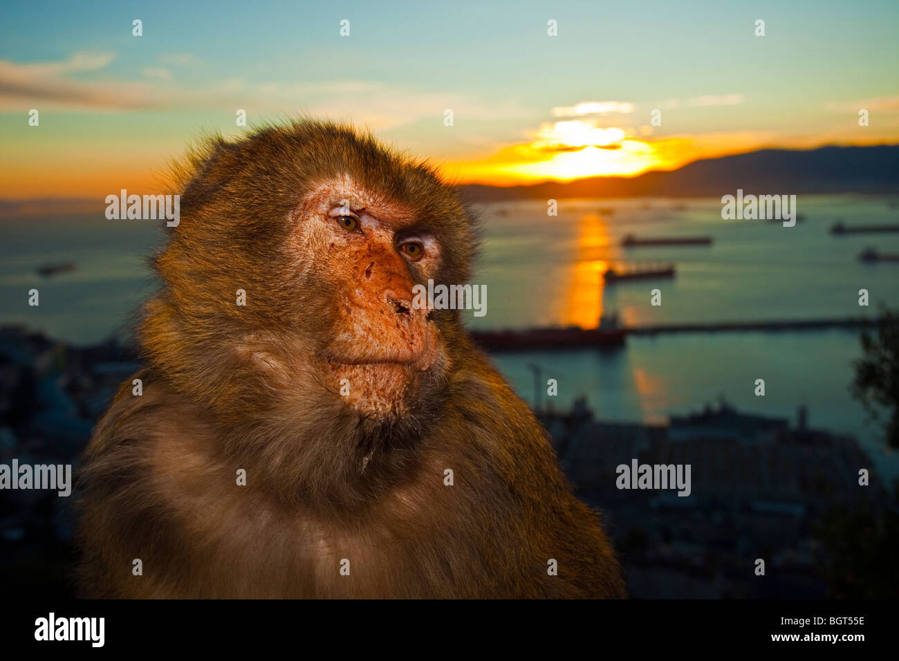 Singe de Barbarie (Macaca sylvanus), rocher de Gibraltar, Royaume-Uni Photo Stock