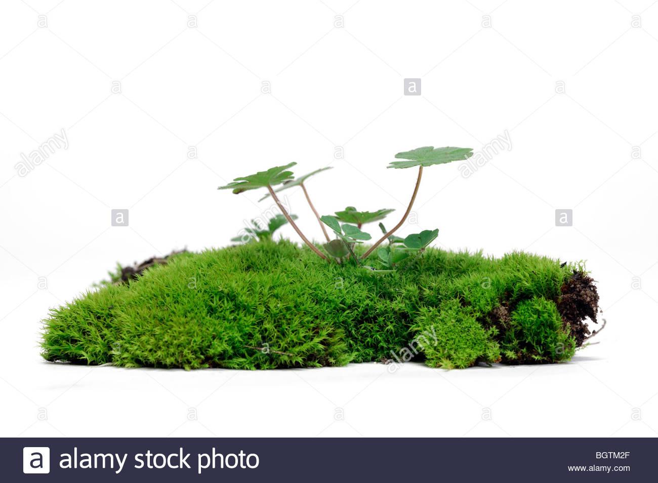 Fresh green moss avec sprouting jeunes graminées Photo Stock