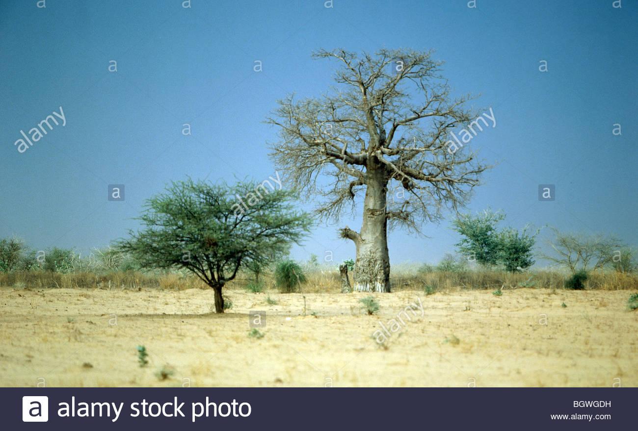 Paysage 2000 en ce qui concerne baobab darfour soudan du sud près de la frontière avec la république