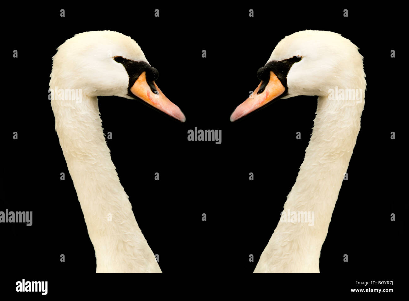 têtes de cygnes Photo Stock