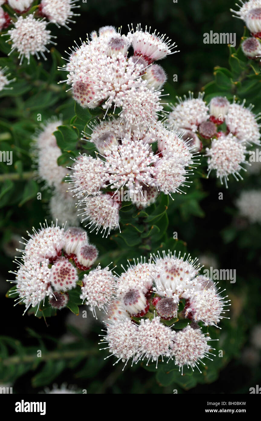 Elegia Fenestrata Fleurs Rose Blanche Sud Africaine Vivace Plante