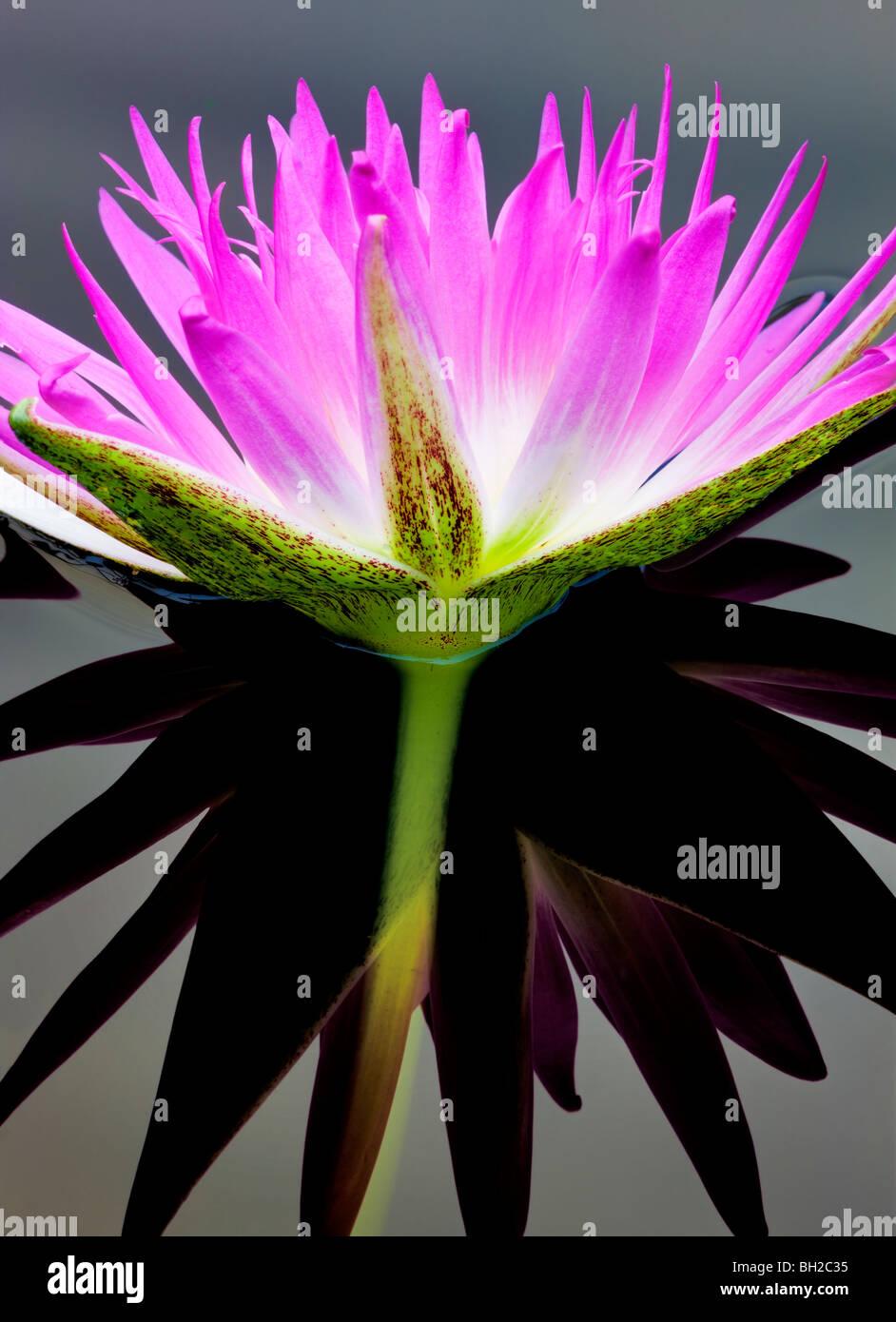 Nénuphar tropical pourpre et de réflexion. Jardins d'eau, de l'Oregon Hughes Photo Stock