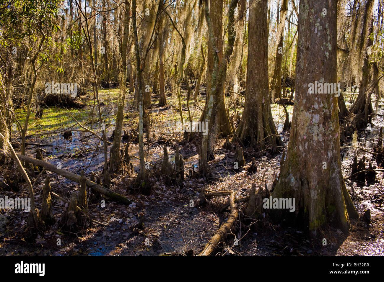 Marais de cyprès chauve à Barataria Préserver, Marrero, Louisiana, Jean Lafitte National Park Banque D'Images