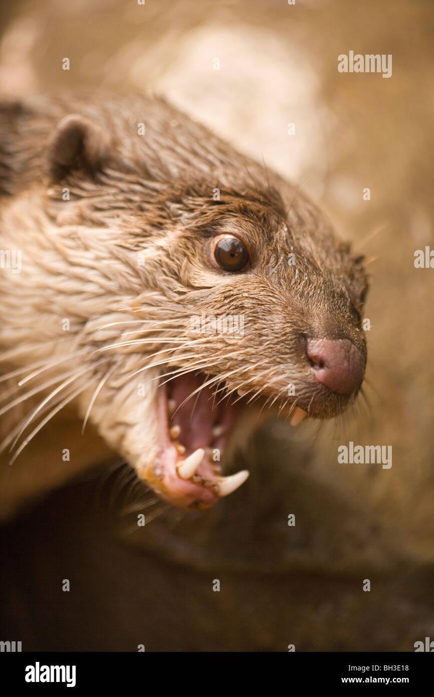 Bon, la loutre (Cerdocyon perspicillata). Originaire du sud et du Sud-Est, l'Iraq. Plus grandes espèces de loutres d'Asie. Vulnérables. Banque D'Images