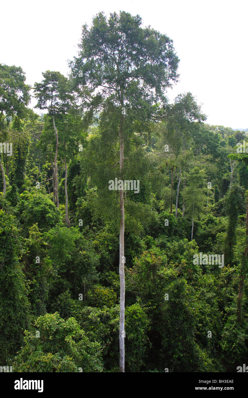 En Afrique Cape Coast Ghana Kakum Jungle Tree Photo Stock