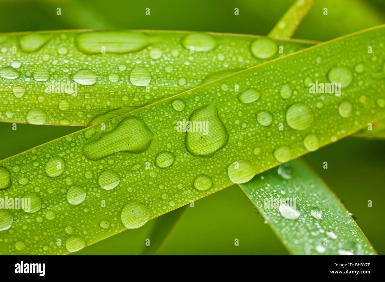 Gouttes de pluie sur des brins d'herbe, le Grand Sudbury, Ontario, Canada Banque D'Images