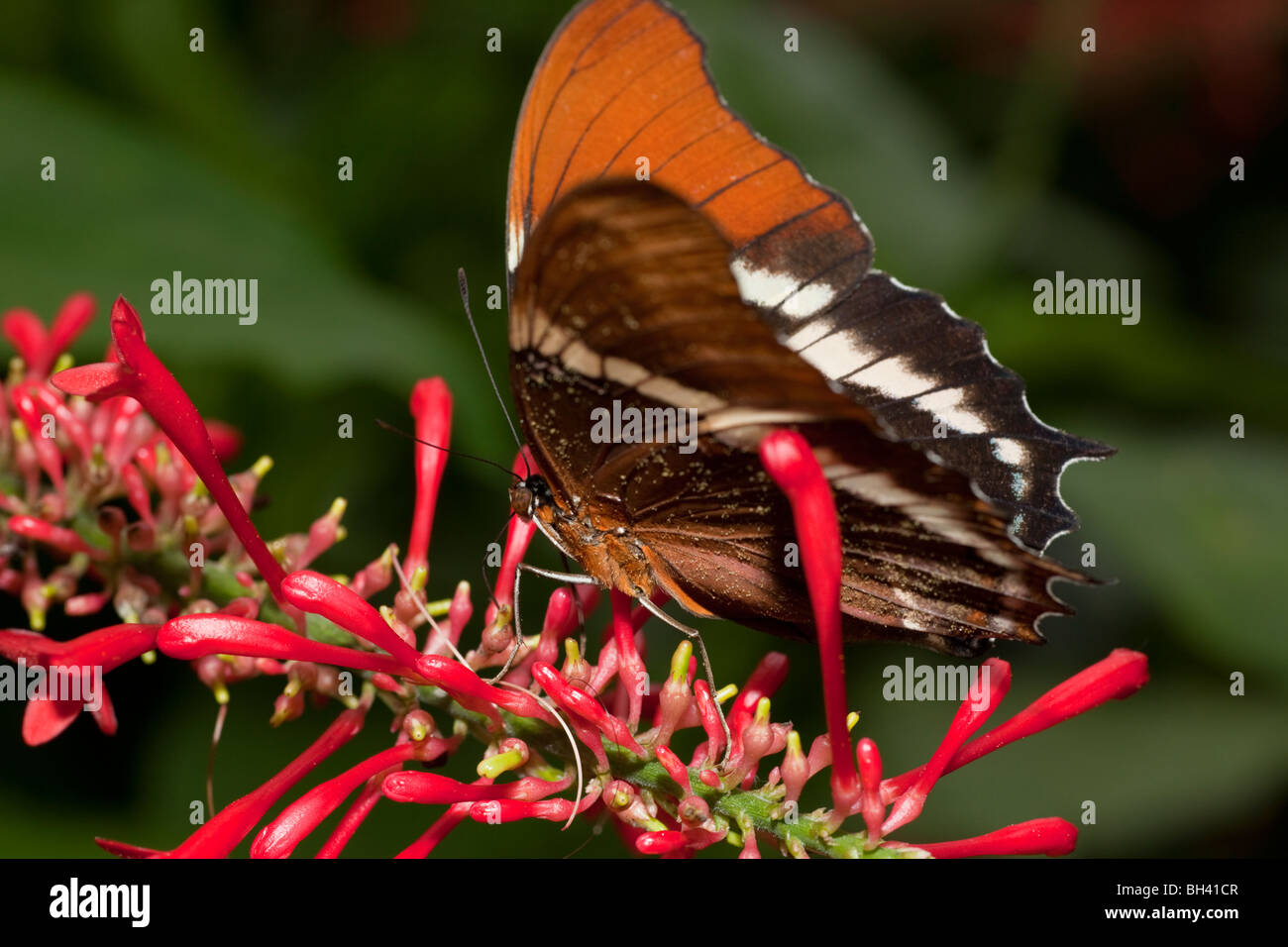 Rusty Embout Papillon Siproeta epaphus Page Photo Stock