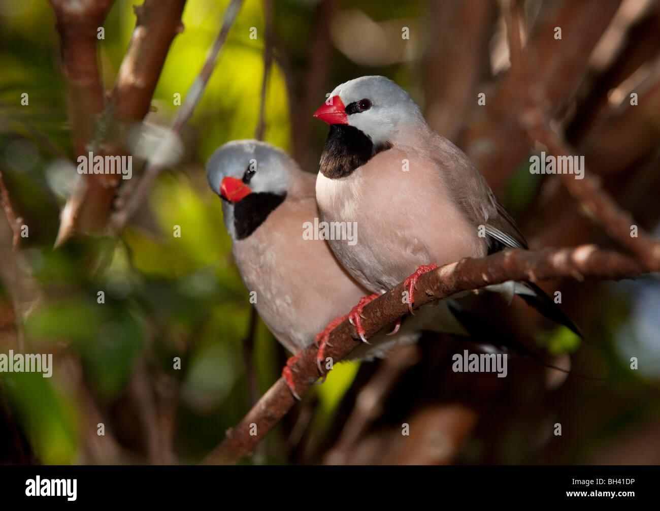 - L'arbre-queue Poephila acuticauda Finch, Australie Photo Stock