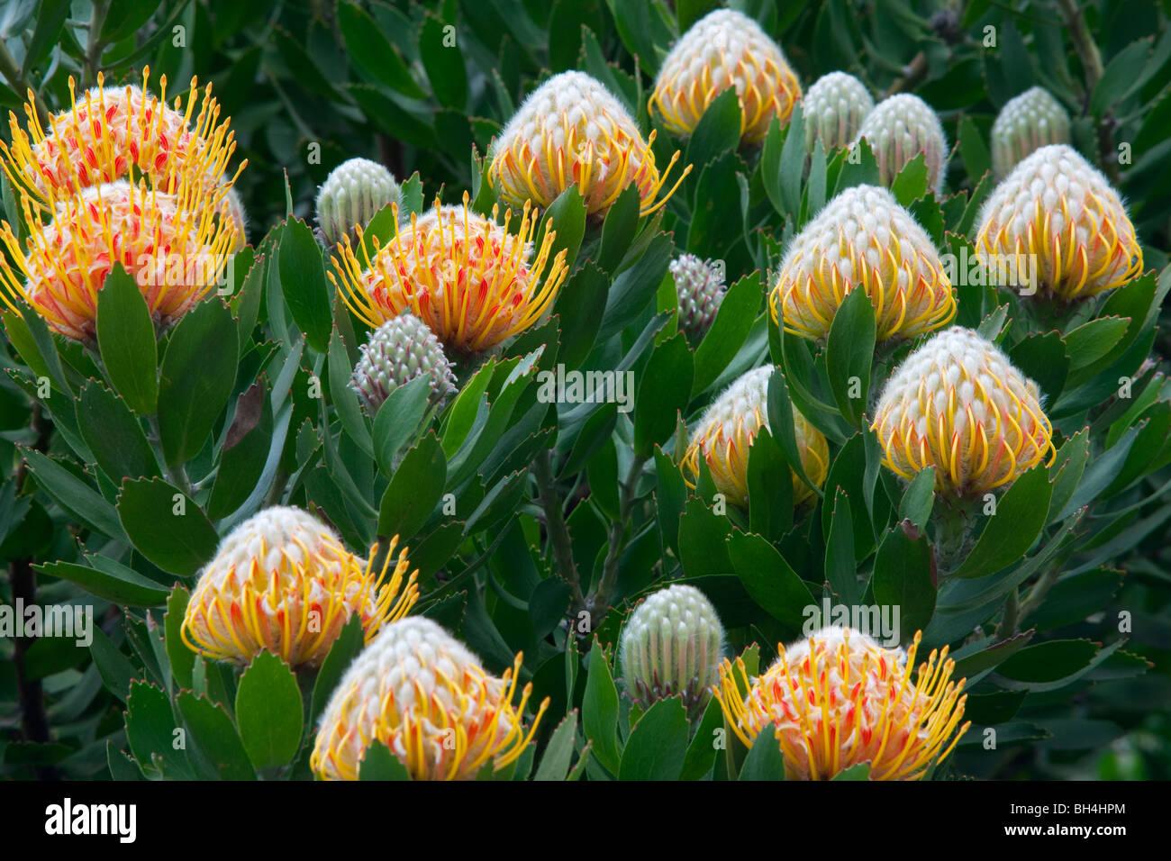 Apple Blossoms et Protea fleurs. Côte de Big Sur. Californie Photo Stock