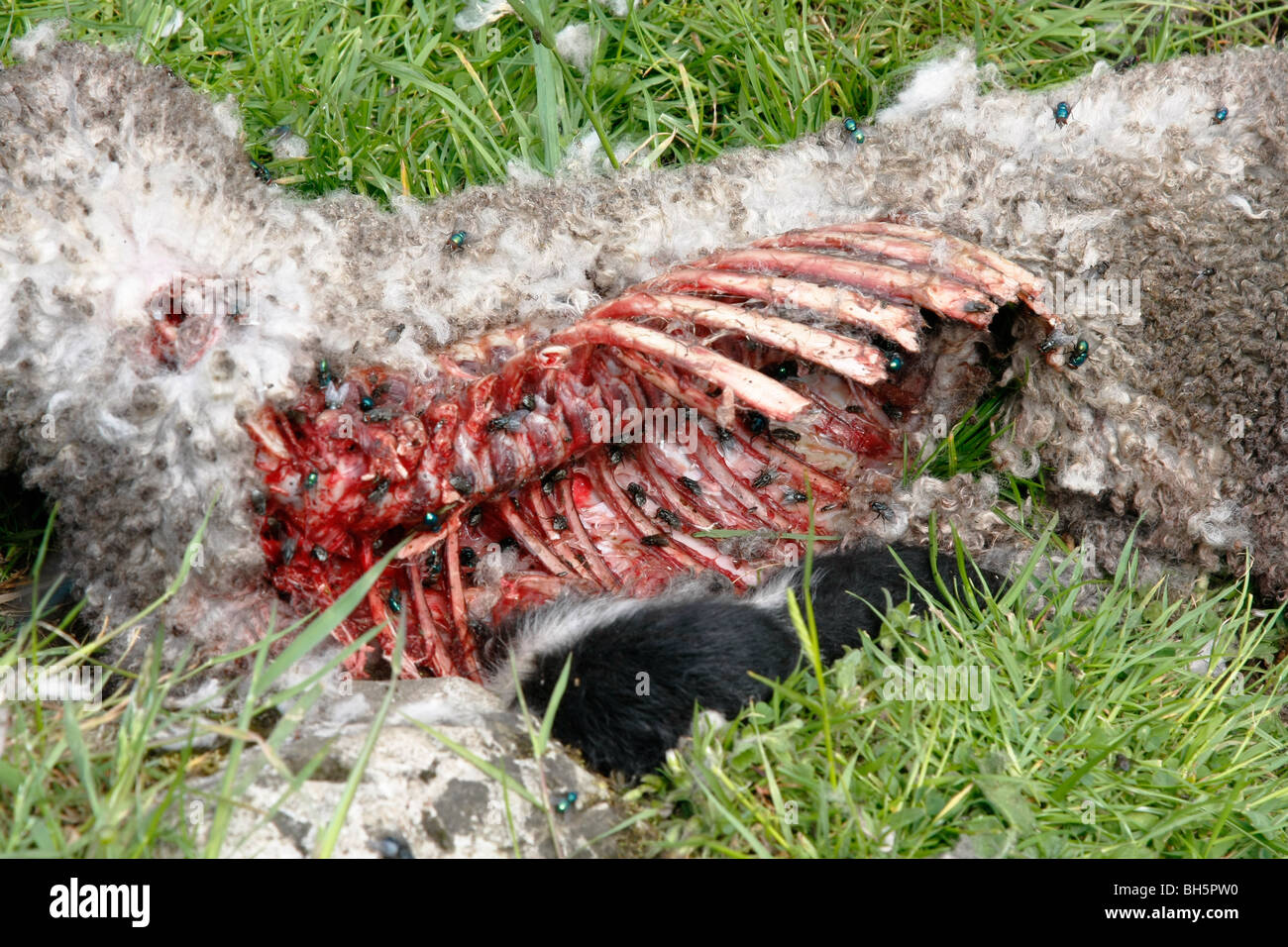une carcasse de mouton mort couvert de calliphorid s dans un champ dans le derbyshire peak. Black Bedroom Furniture Sets. Home Design Ideas