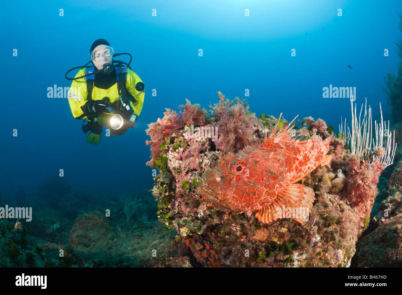 Grand Sébaste et Scuba Diver, Scorpaena scrofa, Les Ferranelles, Îles Medes, Costa Brava, Espagne, Mer Photo Stock