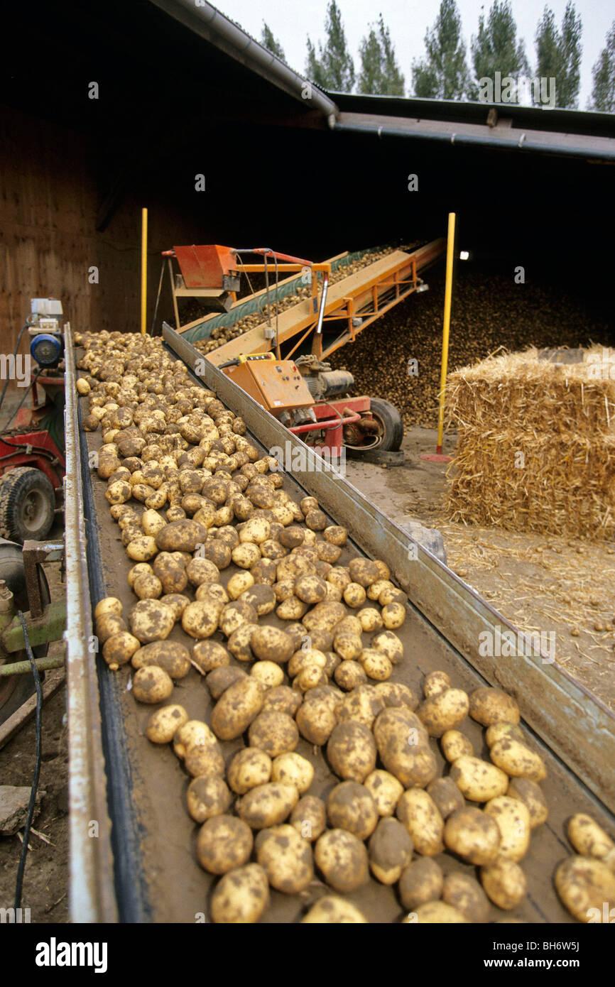 le tri et le stockage des pommes de terre la ferme apr s la r colte le nord de la france. Black Bedroom Furniture Sets. Home Design Ideas
