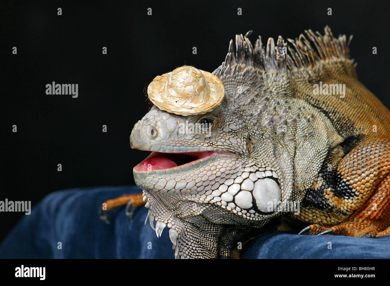 Que suis-je - ajonc- 28 octobre bravo Martin Lezard-iguane-vert-vetu-dun-drole-de-petit-chapeau-bh80hr