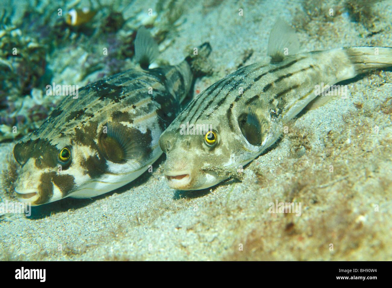 Couple de Striped Puffer, Arothron manilensis, Puerto Galera, l'île de Mindoro, Philippines Banque D'Images
