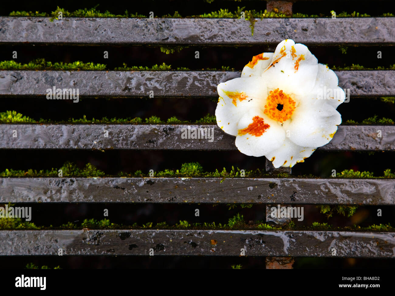 Fleur de camélia sur une grille de bovins Photo Stock