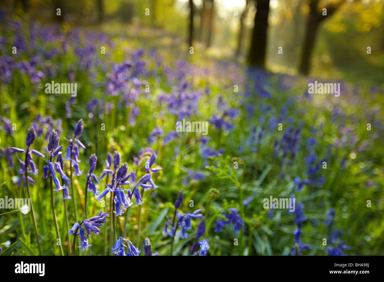 La première lumière dans les bluebell woods à Batcombe, Dorset, England, UK Photo Stock