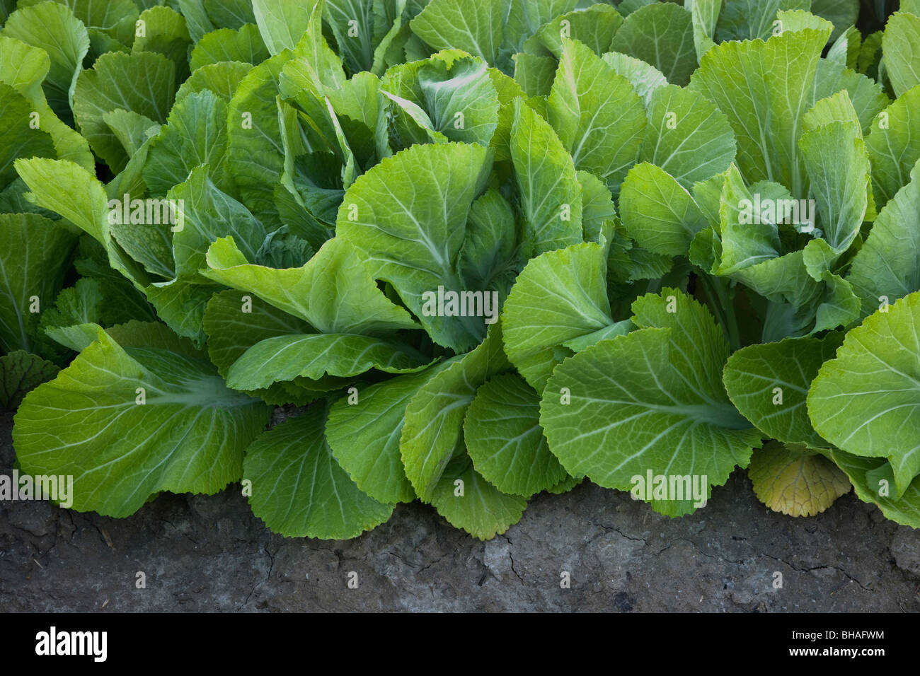 Les feuilles de moutarde 'Gai Choy' légumes. Photo Stock