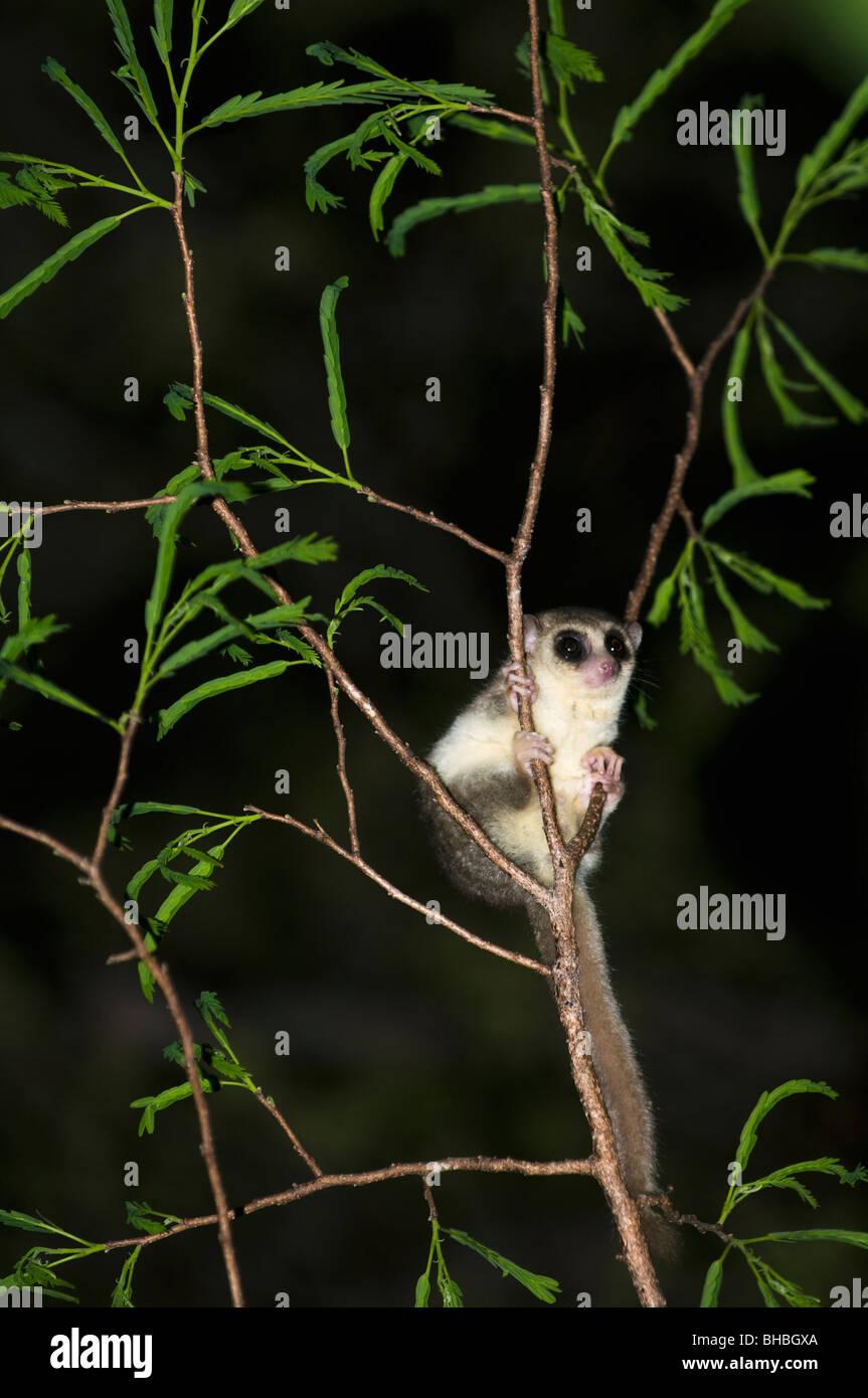 Lémurien roux ou brun souris (le Microcebus rufus) Fenamby Réserver, Daraina, nord-est de Madagascar Photo Stock