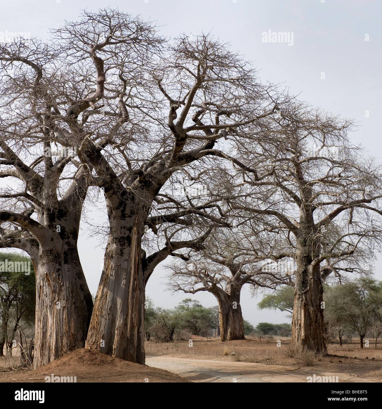 Vue panoramique de grands arbres en Afrique Photo Stock