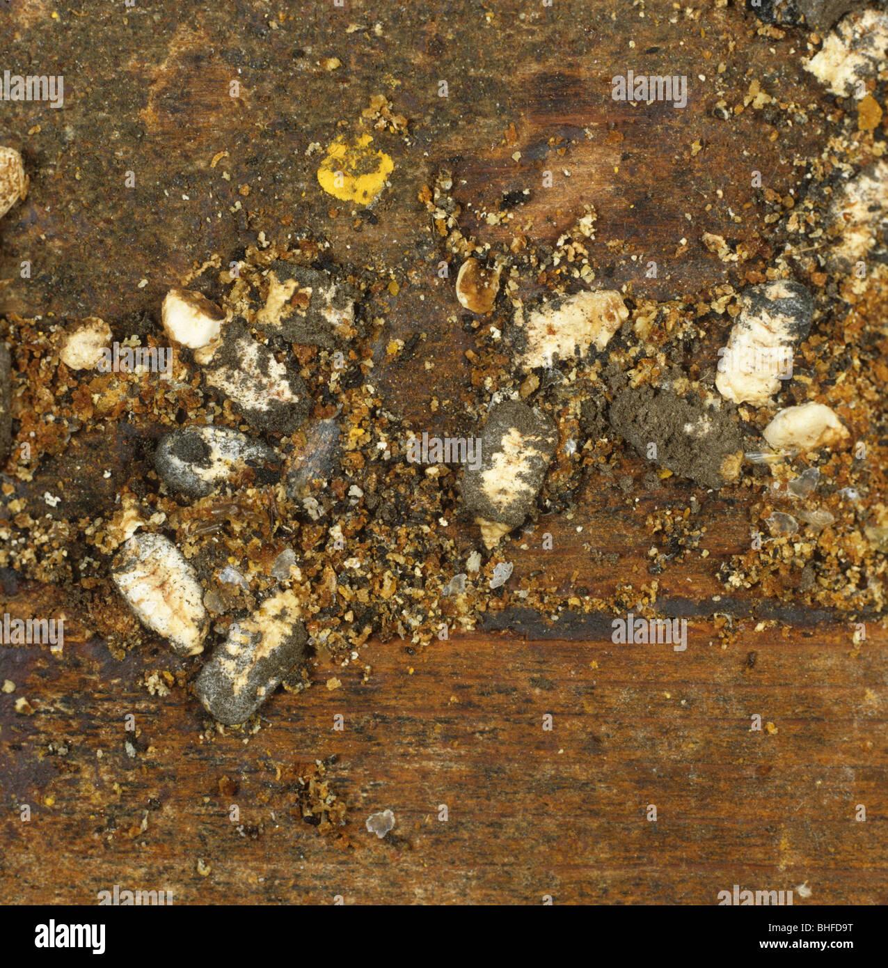 Couvain craie momies et les larves de la cire entre les débris de la ruche miel Photo Stock