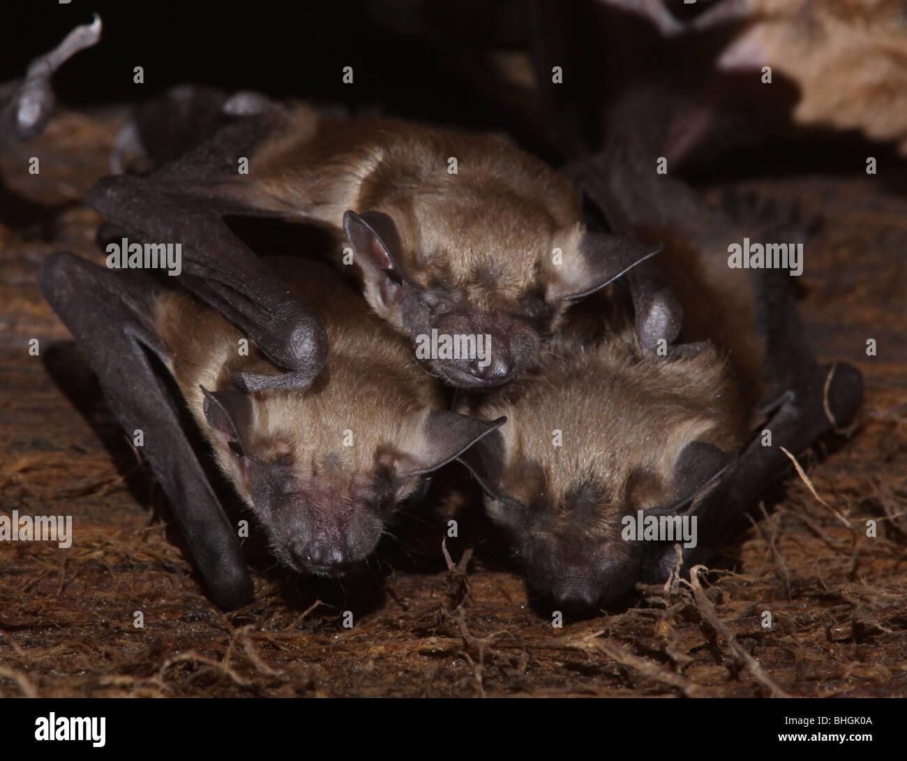 La grande chauve-souris brune colonie de maternité bébés barn en Ohio Photo Stock