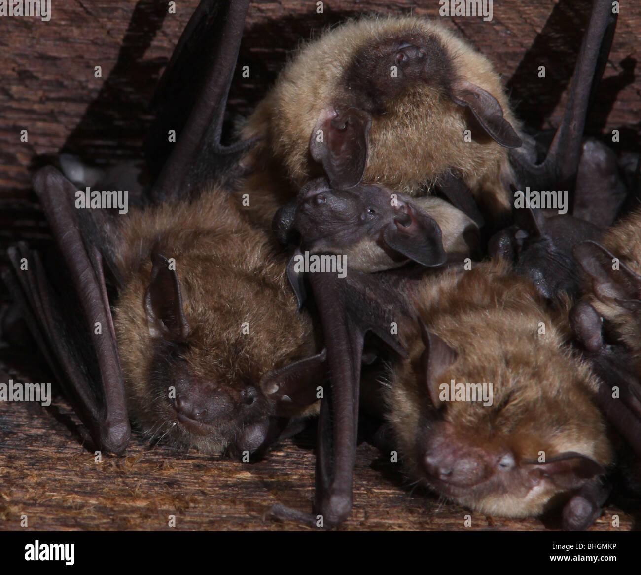 La grande chauve-souris brune colonie de maternité bébés grenier Photo Stock