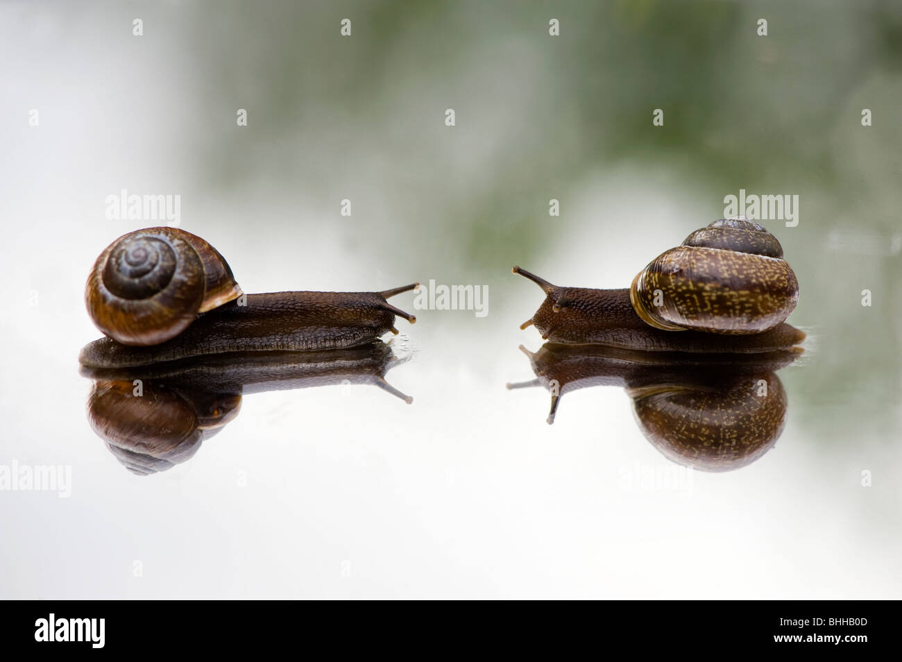 Escargots sur un miroir, close-up, en Suède. Photo Stock
