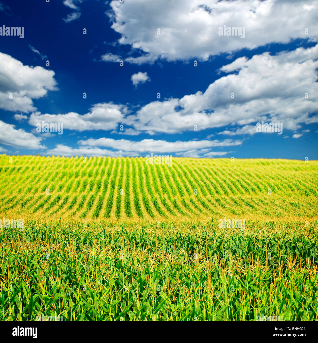 Paysage agricole du champ de maïs sur la petite exploitation agricole durable Photo Stock