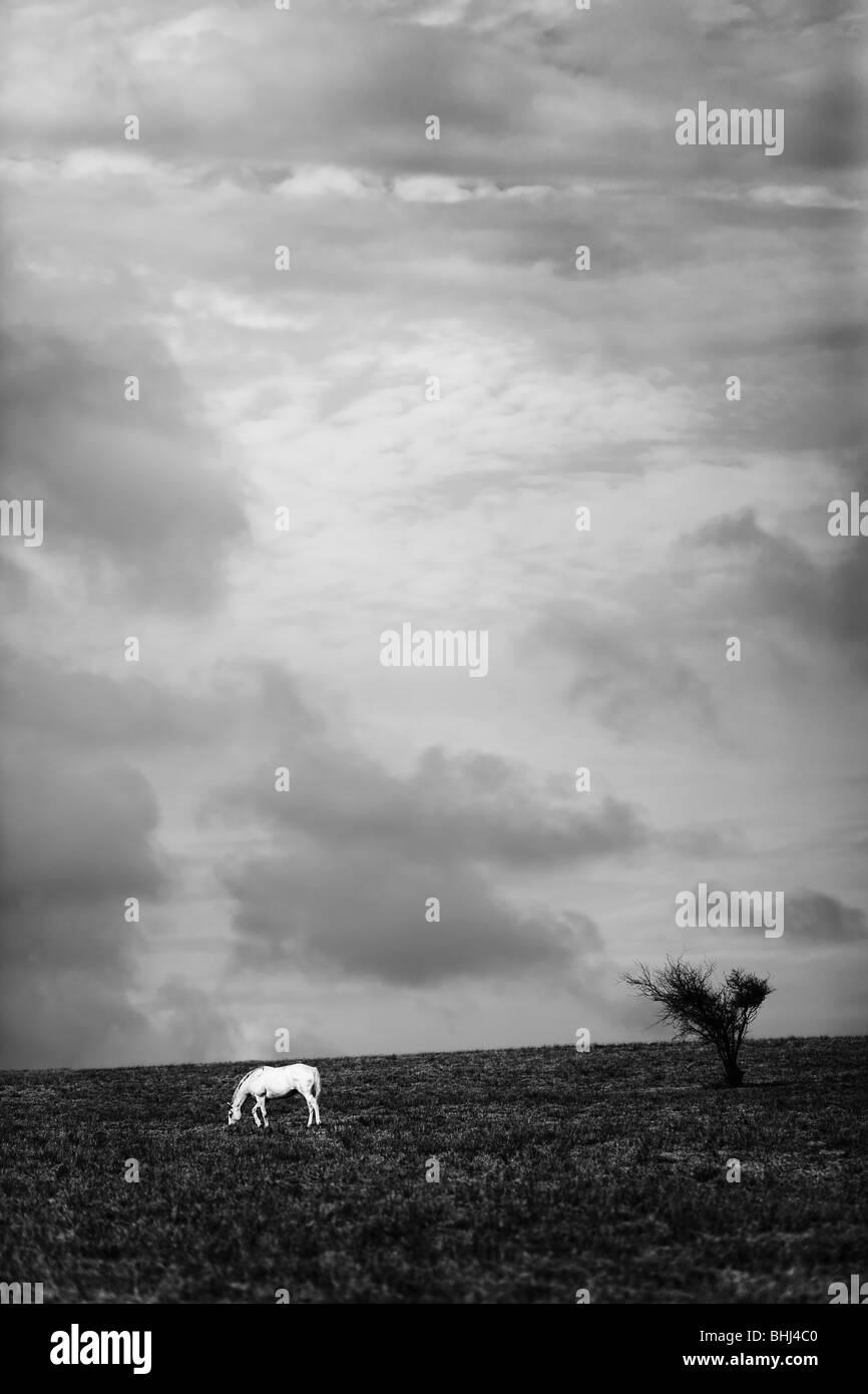 Cheval blanc dans le champ sous ciel d'orage Photo Stock