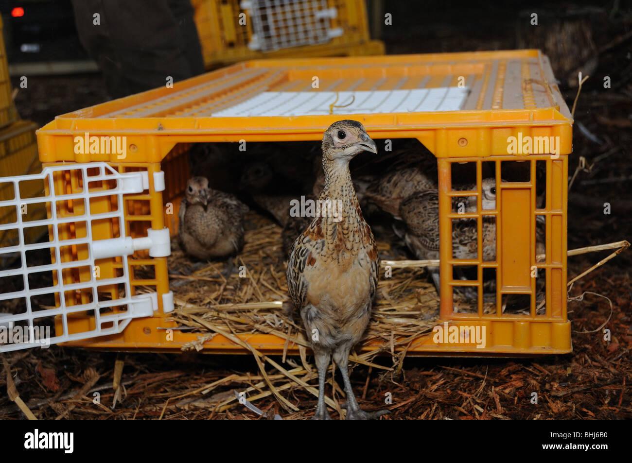 Faisans étant libérés par leur plume Photo Stock