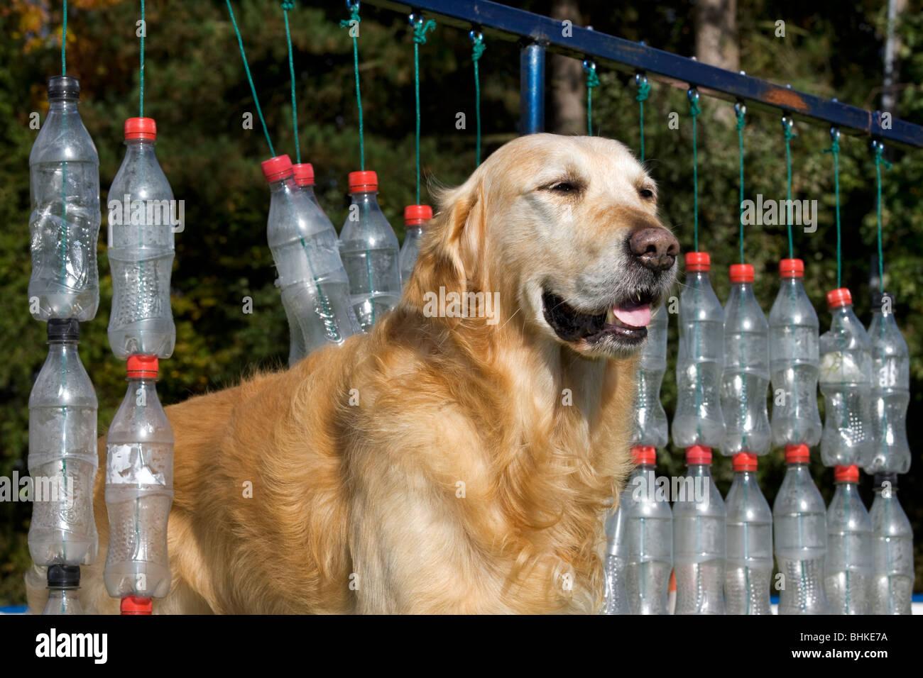 Golden Retriever (Canis lupus familiaris) au cours d'obstacle Photo Stock