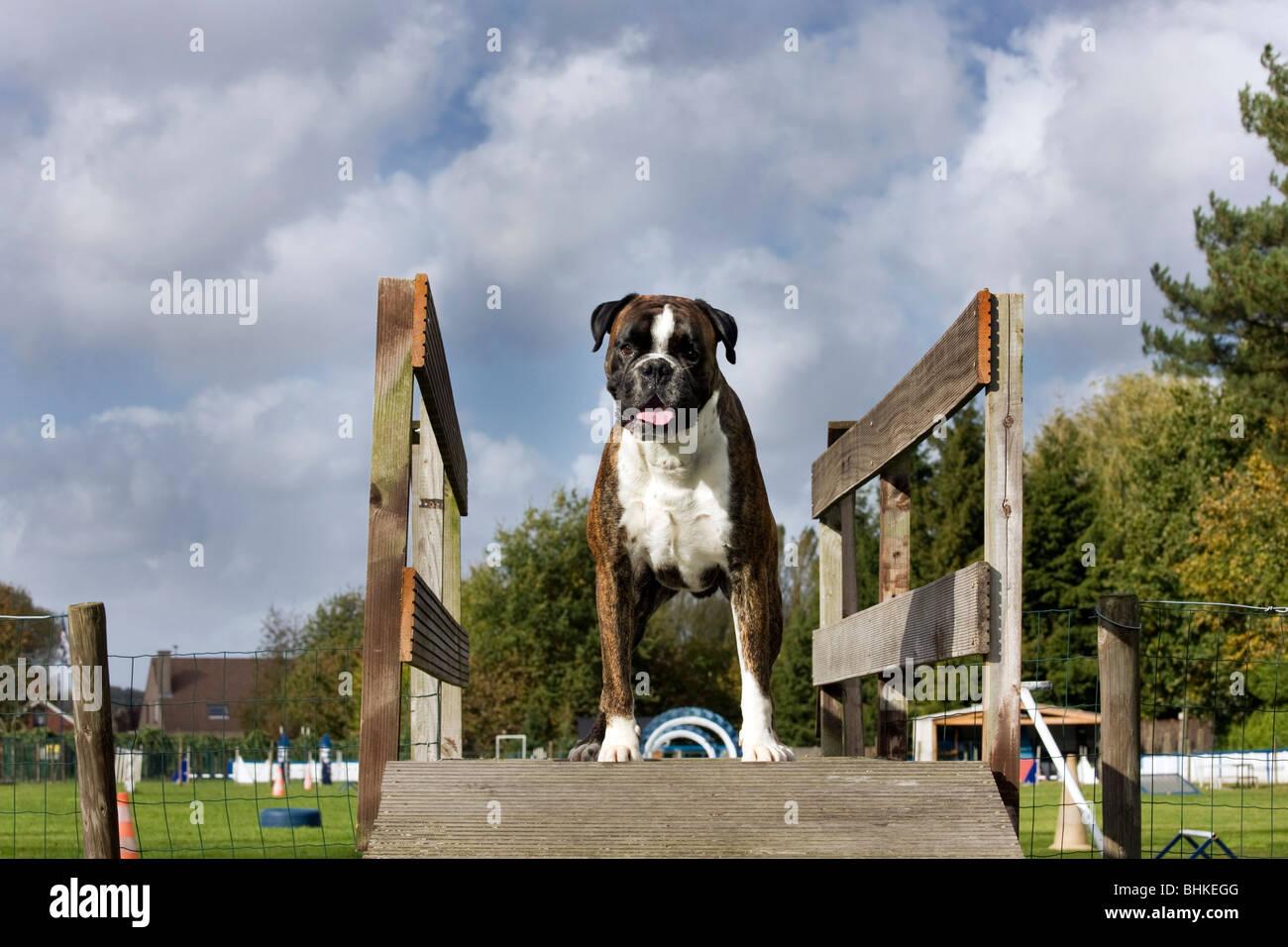Boxer chien (Canis lupus familiaris) au cours d'obstacle Photo Stock