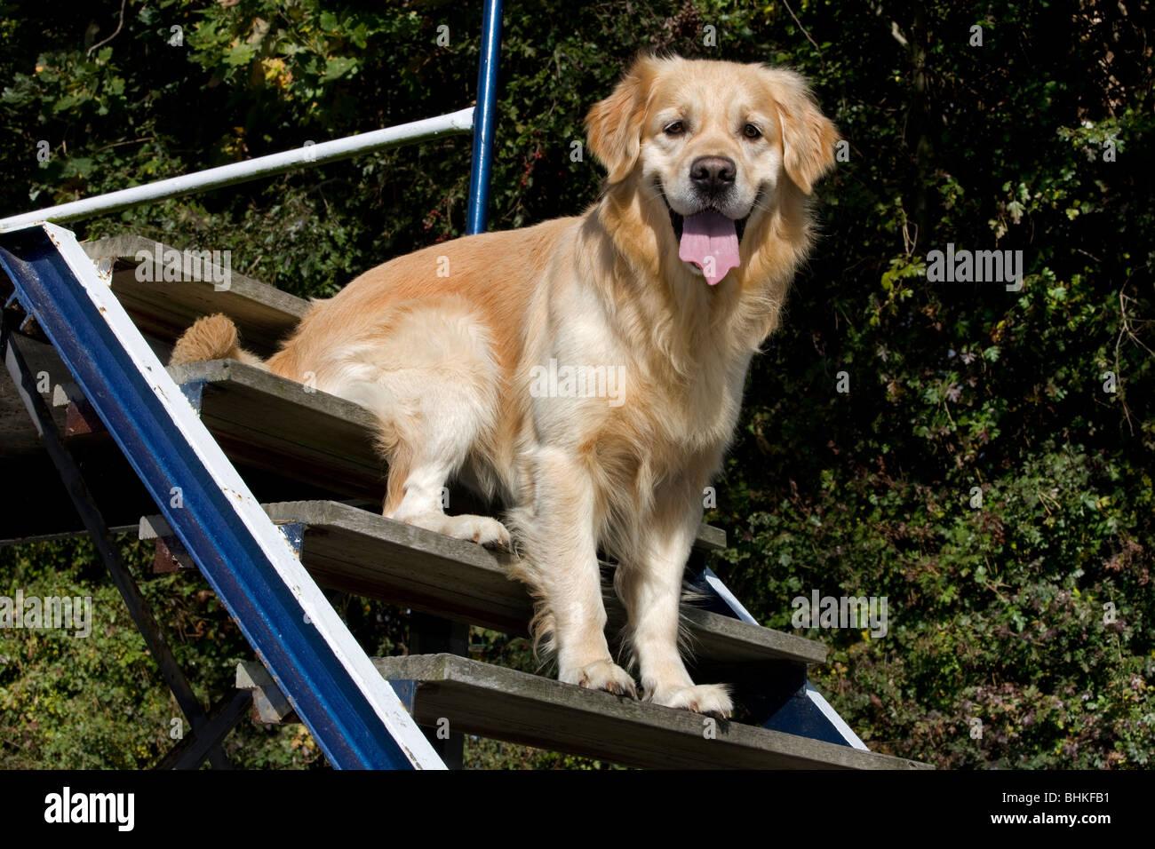 Golden Retriever (Canis lupus familiaris) assis sur des escaliers à parcours Photo Stock